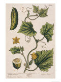 Garden Cucumber, Plate 4 from A Curious Herbal, Published 1782 Giclee Print by Elizabeth Blackwell