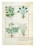 Salt Bush with Anthora and Absinthium and Cardamom, The Simple Book of Medicines Giclee Print by Robinet Testard