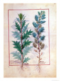 Two Varieties of Artemesia, The Book of Simple Medicines by Mattheaus Platearius Giclee Print by Robinet Testard
