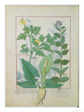 Greater Celandine or Poppy, Solanum or Nightshade, and Aron, the Book of Simple Medicines Giclee Print by Robinet Testard