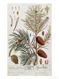 Pine Tree, from A Curious Herbal, Published in Nuremburg in 1757 Giclee Print by Elizabeth Blackwell