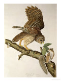 Barred Owl, from Birds of America Giclee Print by John James Audubon