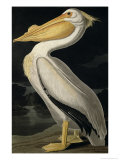American White Pelican, from Birds of America, Engraved by Robert Havell Giclee Print by John James Audubon