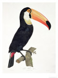 Toucan No.2, History of the Birds of Paradise by Francois Levaillant, Engraved by J.L. Peree Giclee Print by Jacques Barraband