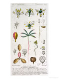 Bursera Gummifera, Engraved by Rebel c.1810-20 Giclee Print by Pierre Jean Francois Turpin