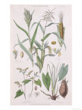 Millet, Maize, Buckwheat and Taro, from A History of the Vegetable Kingdom by William Rhind Giclee Print by W. Fitch