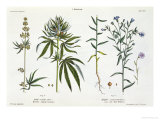 Cannabis and Flax, from The Young Landsman, Published Vienna, 1845 Giclee Print by Matthias Trentsensky