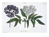 Elder, Fig. 13 from The Young Landsman, Published Vienna, 1845 Giclee Print by Matthias Trentsensky
