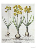 Tazetta Narcissi, from the Hortus Eystettensis by Basil Besler Giclee Print