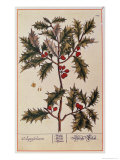 Holly from A Curious Herbal, 1782 Giclee Print by Elizabeth Blackwell