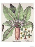 Autumn Mandrake, from the Hortus Eystettensis by Basil Besler Giclee Print
