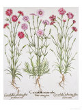 Various Varieties of Dianthus, from the Hortus Eystettensis by Basil Besler Giclee Print