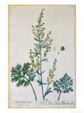 Absinthe, Plate from Herbarium Blackwellianum by the Artist, 1757 Giclee Print by Elizabeth Blackwell