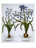 Two Blue Hyacinths, from Hortus Eystettensis, by Basil Besler Reproduction procédé giclée