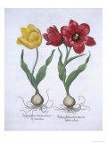 Red and Yellow Tulip, from Hortus Eystettensis Giclee Print
