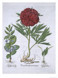 Melissa, Paeony and Odontoglossum, from Hortus Eystettensis, by Basil Besler Giclee Print