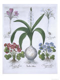 Two Crocuses, Two Hepatica, and a Scilla, from Hortus Eystettensis, by Basil Besler Giclee Print