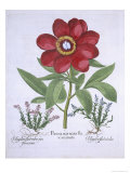Paeony and Two Polygalons, from Hortus Eystettensis, by Basil Besler Giclee Print