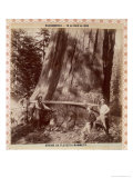 Lumberjacks About to Fell a Giant Redwood with a Drag Saw, Sacramento, California, 1893 Giclee Print