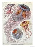 Jellyfish, from Kunstformen Der Natur, 1874 Gicléetryck av Ernst Haeckel