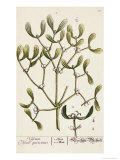 Mistletoe from A Curious Herbal, 1782 Giclee Print by Elizabeth Blackwell