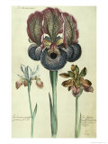 Iris Susiana Major and Iris Bisantina Angustifolia Giclee Print by Georg Dionysius Ehret