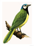 X For Xanthoura Luxuosa or American Jay Giclee Print by R. B. Davis
