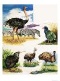 Ostrich, Kiwi, Cassowary, Emu and Takahe Giclee Print