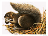 X For Xerus Erythropus or African Squirrel Giclee Print by R. B. Davis