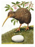 The Kiwi Giclee Print by R. B. Davis