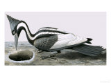 Ivory-Billed Woodpecker Giclee Print by R. B. Davis