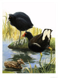Birds of Our Lakes and Rivers: Coot and Moorhen Giclee Print by R. B. Davis