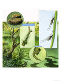 Lifecycle of the Mosquito Giclee Print by R. B. Davis