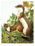 Weasels Giclee Print by R. B. Davis