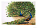Peacocks Giclee Print by R. B. Davis