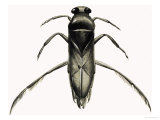 Water Boatman Giclee Print by R. B. Davis