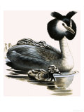 The Great Crested Grebe Giclee Print by R. B. Davis