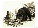 The Malayan Sun Bear Raiding a Bees Nest For Honey Giclee Print by R. B. Davis