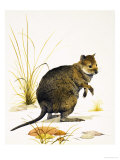 The Quokka from Australia, a Type of Wallaby Giclee Print by Kenneth Lilly