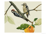 The Lesser Spotted Woodpecker, Male and Female Giclee Print by Kenneth Lilly