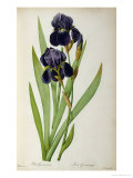 Iris Germanica, from Les Liliacees Giclee Print by Pierre-Joseph Redouté