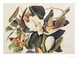 Black-Billed Cuckoo on Magnolia Grandiflora, 1828 Giclee Print by John James Audubon
