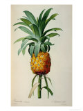 Bromelia Ananas, from Les Bromeliacees Giclee Print by Pierre-Joseph Redouté
