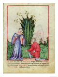 Fruit of Mandrake, From Tacuinum Sanitatis, c.1390-1400 Giclee Print