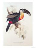 Sulphur and White Breasted Toucan Giclée-Druck von Edward Lear