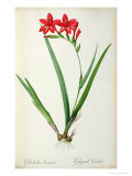 Gladiolus Cardinalis, from Les Liliacees Giclee Print by Pierre-Joseph Redouté