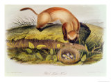Black-Footed Ferret from Quadrupeds of North America Giclee Print by John James Audubon