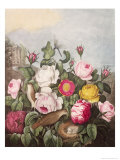 Roses, Engraved by Earlom, from 'The Temple of Flora', by Robert Thornton, Pub. 1805 Giclee Print by Robert John Thornton
