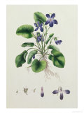 Violets, Page from an Album of Botanical Studies c.1830 Giclee Print