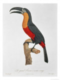 Toucan: Great Red-Bellied by Jacques Barraband Giclee Print by Jacques Barraband